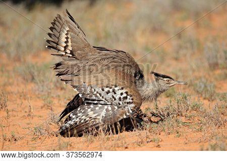Male kori bustard (Ardeotis kori) displaying, Kalahari desert, South Africa