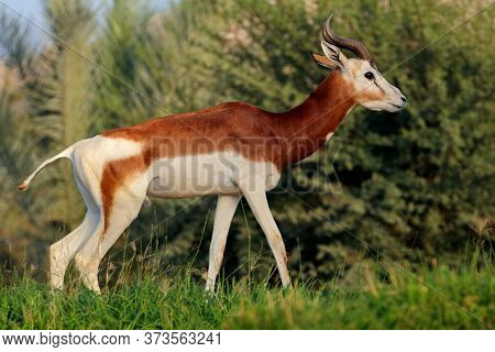 Male critically endangered dama gazelle (Nanger dama), Northern Africa