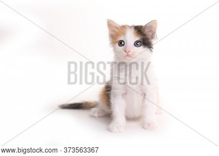 Calico Kitten Looking Up With Curiosity on White Backgroud