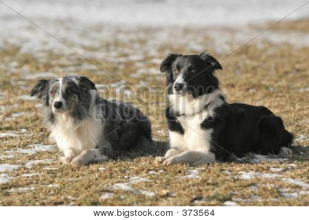 two border collies together - black-white and bluemerle poster