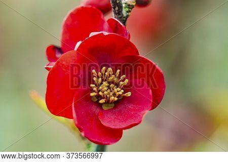 Maroon Red Atsuya Hamada Quince Blossom Flowering Fruit Tree Macro Bellevue Washington State