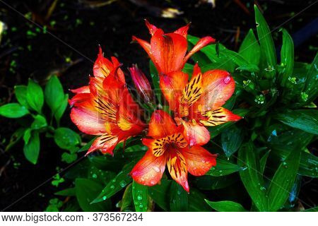 Orange Peruvian Lily Of The Incas Alstroemeria Green Leaves Easter Island Chile Native To South Amer
