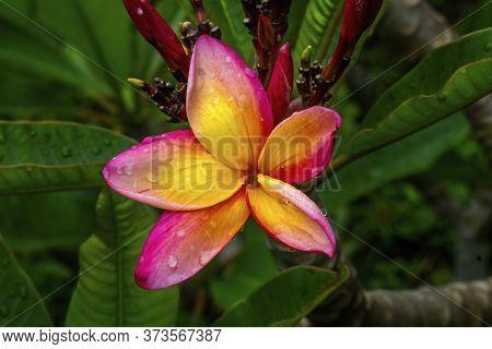 Pink Yellow Tropical Fragrant Plumeria Frangipani Flower Apocynacae Tree Macro Green Leaves Easter I
