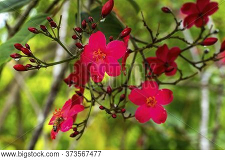 Pink Peregrina Spicy Jatropha Bush Green Leaves Easter Island Chile