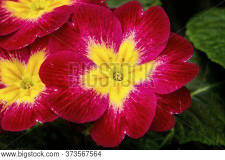 Red Yellow English Primrose Primula Vulgaris Blooming Macro Bellevue Washington State. Native To Eur
