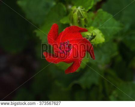 Red Turk's Cap Hibiscus Flower Wax Mallow Malvaviscus Arboreus Green Leaves New Orleans Louisian.  N