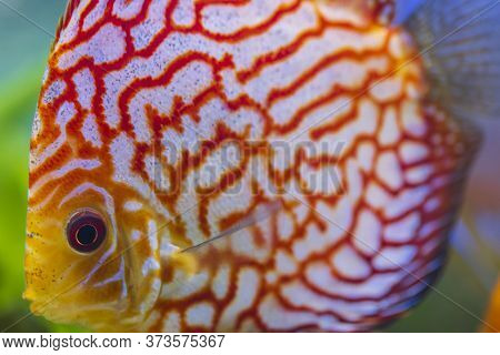 Close Up View Of Gorgeous Checkerboard Red Map Diskus Aquarium Fish. Hobby Concept.