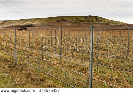 Grape Vines Row Wineries Winter Red Mountain Benton City Washington