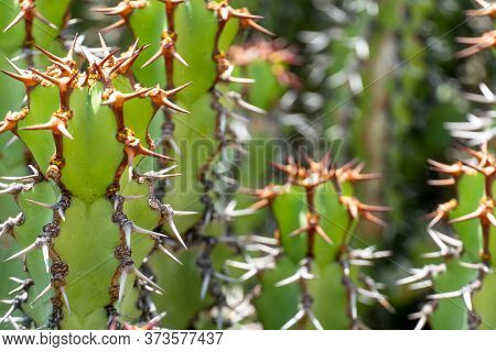Euphorbia Is A Very Large And Diverse Genus Of Flowering Plants, Commonly Called Spurge, Euphorbiace