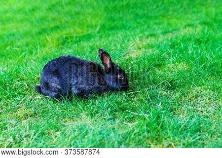 Cute Adorable Black Fluffy Rabbit Or Bunny Plucks Green Grass On The Lawn In The Park.