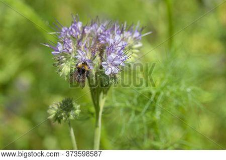 Blooming Lacy Phacelia Tanacetifolia Flowers With Bumblebee. Bumblebee On Phacelia Flower