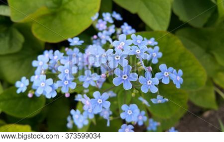 Small Blue Bright Flowers Of Forget-me-nots In Spring Park, Close-up