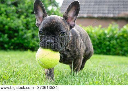 A Cute Adorable Brown And Black French Bulldog Dog Is Playing In The Grass With A Yellow Ball