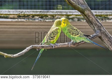 Two Green Parakeets, Budgeriager, Red Beak, They Sit On A Branch. Selective Focus