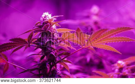 Indoor Growing Of Sativa Or Indica Cannabis Leaves And Flowers Under Infrared Led Lights.
