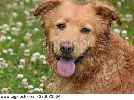 Cute Damp Duck Tolling Retriever Dog In Clover And Grass.