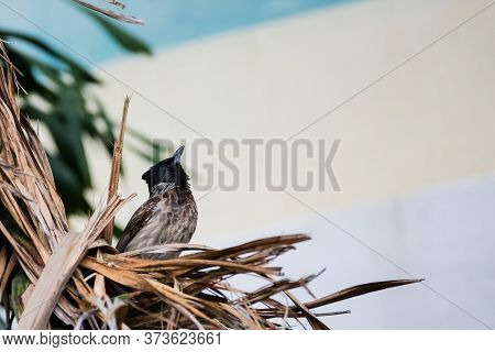 Red Vented Bulbul (pycnonotus Cafer) Looking Up While Perching In A Nest
