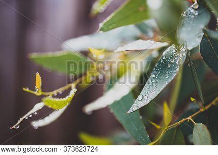 Native Australian Eucalyptus Gum Tree Plant Outdoor Covered In Raindrops