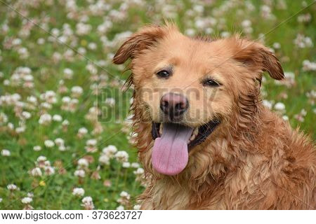 Adorable Sweet Faced Damp Duck Tolling Retriever Dog Sitting Outside.