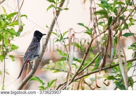 Red Vented Bulbul (pycnonotus Cafer) Climbing Up A Twig