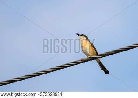 Portrait Of Ashy Prinia (prinia Socialis) Singing While Sitting On A Powerline With Blue And Clear S