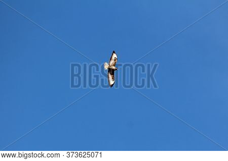 Beautiful Mighty Single Common Buzzard Bird Of Prey With Fully Spread Colorful Broad Wings In Flight