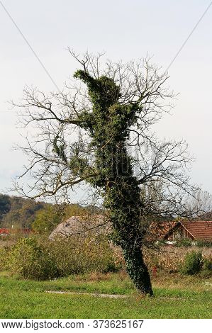 Curiously Strange Looking Large Old Tree With Small Dry Branches Without Leaves Completely Covered W