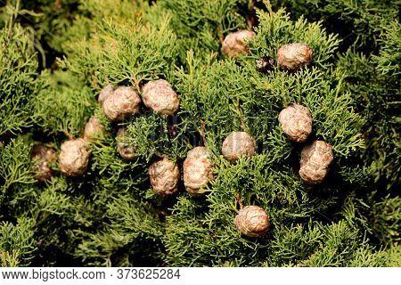 Mediterranean Cypress Or Cupressus Sempervirens Or Italian Cypress Or Tuscan Cypress Or Persian Cypr