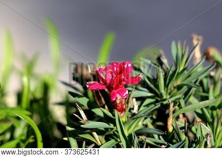 Single Carnation Or Dianthus Caryophyllus Or Clove Pink Small Herbaceous Perennial Red Flower With P