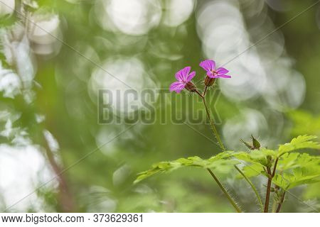 Herb Robert, Red Robin, Death Come Quickly Or Storksbill (geranium Robertianum) Flower With A Bokeh
