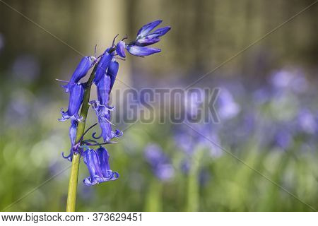 Violet-blue; Common Bluebell, Bluebell, Hyacinthoides Non-scripta Flower With A Bokeh Background