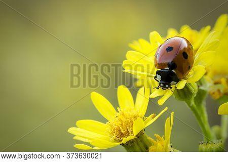 Close-up Ladybug (coccinellidae) On Narrow-leaved Ragwort (senecio Inaequidens)
