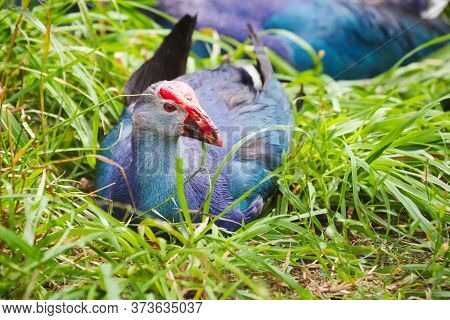 Sultan Bird With A Plumage Of Blue And A Bright Red Beak Lies On The Grass