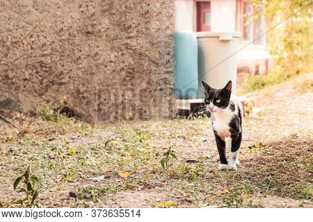 Black And White Tuxedo Bicolor Shorthair Cat With Yellow Eyes Standing On The Ground In The Garden.