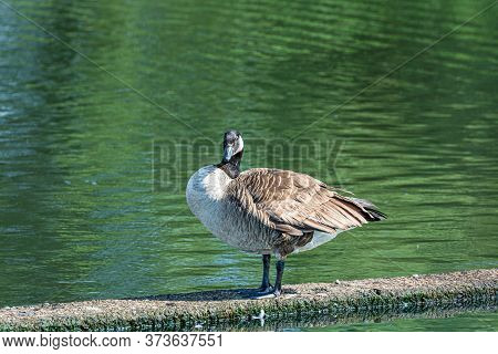 Canada Goose, Branta Canadensis. Green Water Background. Picture From Scania, Southern Sweden