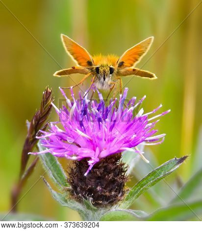 Skipper Butterfly Feeding On Bright Mauve Thistle Flowers