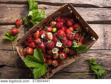 Strawberry Field On Fruit Farm. Fresh Ripe Organic Strawberries In Old Basket On Pick Your Own Berry