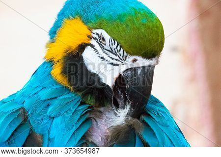 A Beautiful Yellow-blue Macaw Parrot Cleans Feathers On His Chest