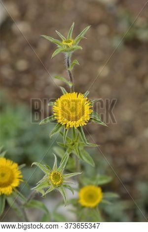 Spiny Starwort Yellow Flower - Latin Name - Pallenis Spinosa
