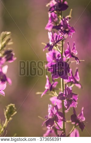 Purple Pink Wildflowers In A Meadow In The Hazy Summer Sunshine. Nature Background Close-up Flowers