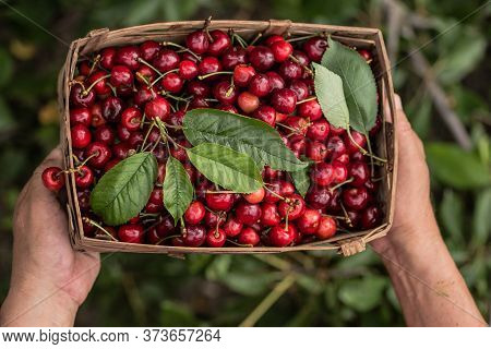 Man's  Hands  Holding  Straw Box  Of  Freshly Picked Cherries Or Merry.texture Cherries Fruits Close