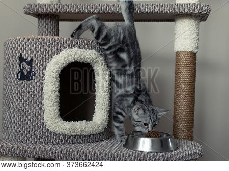 Young Grey Striped Kitten Jumping On The Cats Tree In The Living Room To Eat Dry Cats Food Form The