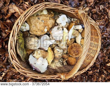 Basket With Mushrooms, Searching Porcini Mushrooms In Forest