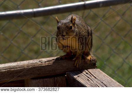 Red Squirrel Raiding Nearby Bird Feeder, Canyon, Texas.