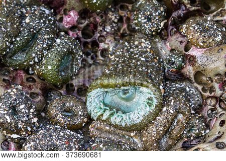 Close Up Fo A Group Of Sea Anemones Exposed By The Low Tides With One Of Them Still Open In The Sout