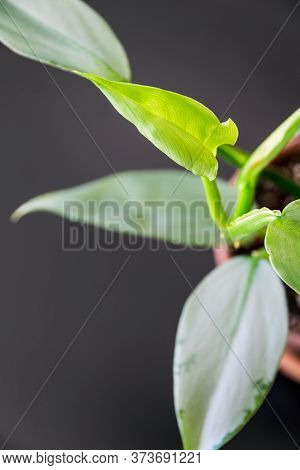 New Growth On Philodendron Silver Sword (philodendron Hastatum) Houseplant In A Terracotta Pot On A