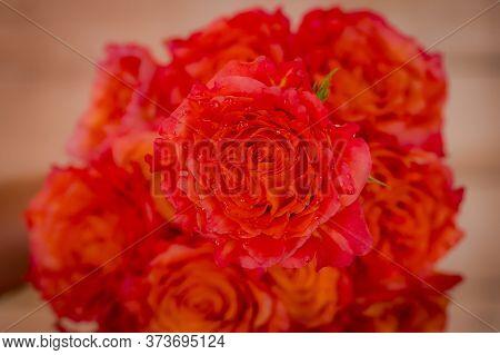 Close Up Of Free Spirit Roses Variety, Studio Shot.