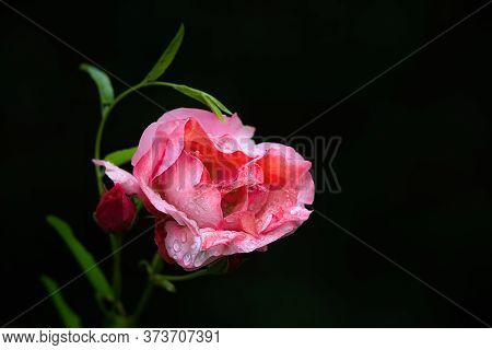 Heart Shaped Pink Rose With Raindrops On A Black Background. Close Up.