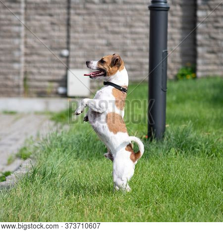 Jack Russell Terrier Stands On Its Hind Legs And Looks Away. A Dog With Its Tongue Sticking Out Stan
