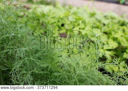 Beautiful Green Dill And Parsley Grows In The Beds